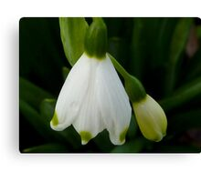 Snowdrops - Snow Belle Canvas Print