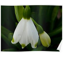 Snowdrops - Snow Belle Poster