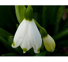 Snowdrops - Snow Belle Photographic Print