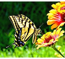 Yellow Butterfly on a flower Photographic Print