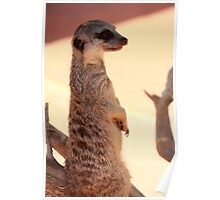 Meercat - Adelaide Zoo Poster