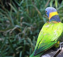 Rainbow Lorikeet - Adelaide Zoo by Anthony Radogna