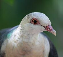 Pigeon - Adelaide Zoo by Anthony Radogna