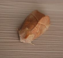 Moth by zpawpaw
