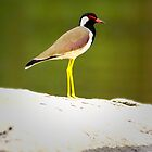 Red Wattled Lapwing by kavisimi