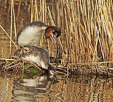 Mating Grebes by Robert Abraham