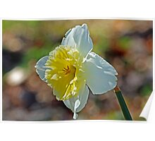 Spring Cheer Daffodil photo Poster