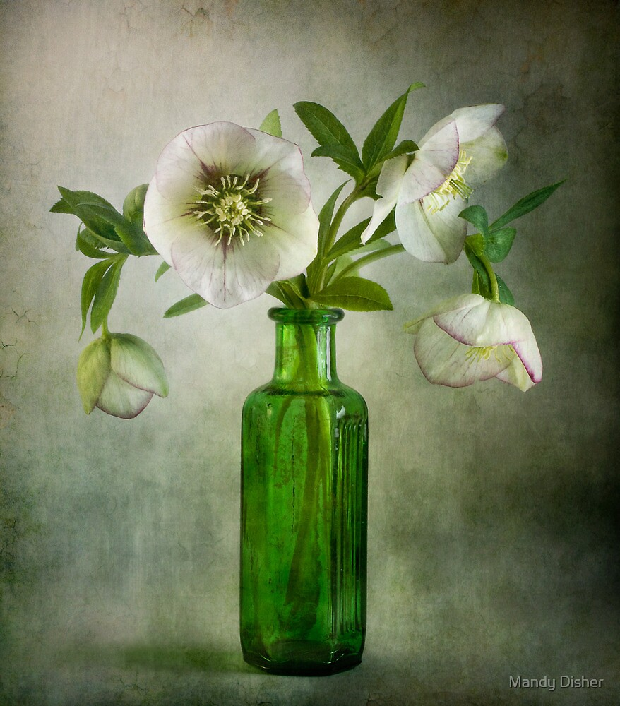 Hellebores by Mandy Disher