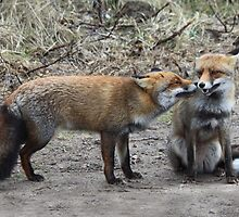 Two Red Foxes by DutchLumix