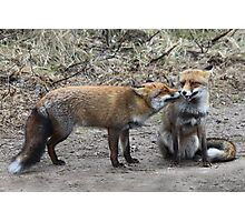 Two Red Foxes Photographic Print