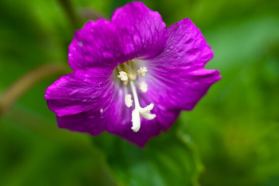 Plant, Wild flower, Great Willowherb, Epilobium hirsutum, Flower by Hugh McKean