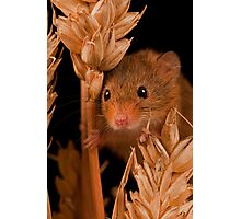Field Mouse Close Up Photographic Print
