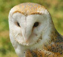 Barn Owl  (Tyto Alba) by Sandra Cockayne
