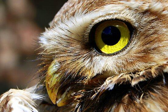Burrowing Owl (Athene cunicularia) - Bolivia by Jason Weigner