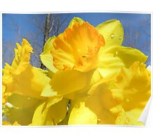 Delight Of The Daffodils Poster
