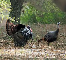 WILD TURKEYS by TomBaumker