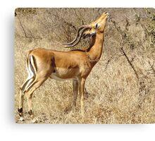 Impala going for the goodies - Moremi Botswana Canvas Print