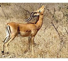 Impala going for the goodies - Moremi Botswana Photographic Print