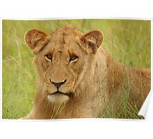 Lion Portrait - Kruger National Park Poster