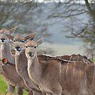 Deer deer deer deer by Steve
