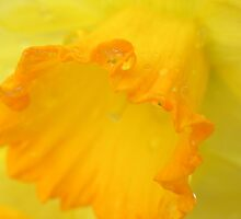 Macro Daffodil by NatureGreeting Cards ©ccwri