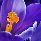 crocus.. by Michelle McMahon
