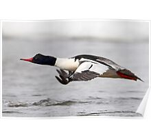 Low And Lateral / Common Merganser Poster