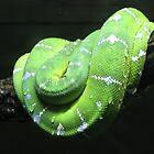 Green tree python by Christina Hulette