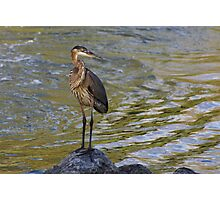 Blue Heron - Erie Canal Upstate NY Photographic Print