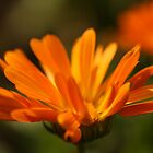 Orange Petals by pange