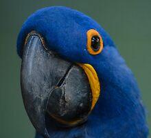 Macaw by Daniel Precht