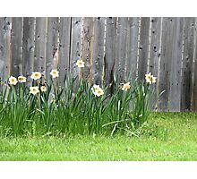 Doffodils along the Fence Photographic Print