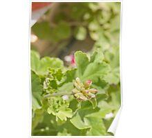 geranium buds with green bokeh Poster