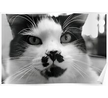 Domestic Cat - Chicco Poster