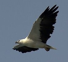Sea Eagle off Turrimetta  by Doug Cliff