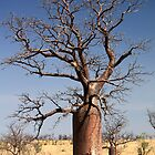 boab trees Derby WA by robinmaher