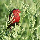 crimson finch kimberley by robinmaher