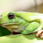 green tree frog by robinmaher