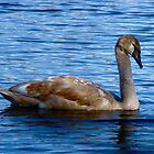 Velvet the young swan by Poete100