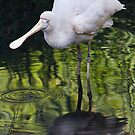 Yellow-billed Spoonbill  by KathyT