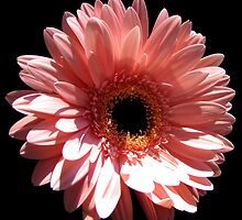 Happy Mother's Day card: gerbera daisy by hummingbirds