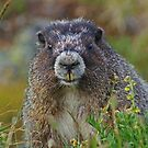 Scarface Marmot by Ted Widen