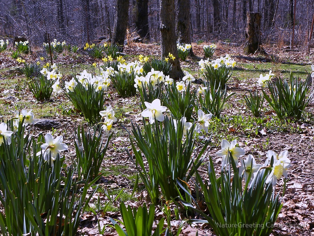 Nothing Pristine, about my Daffodil Festival by NatureGreeting Cards ©ccwri