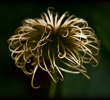 Clematis by Scott Anderson