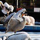 Yawning pelican by iulix