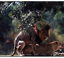 Mating Lions Photographic Print