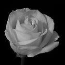 B&W Rose #4 by Sam Davis