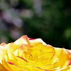 Sunshine Rose by Gretchen Dunham