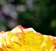 Sunshine Rose by Gretchen Dunham