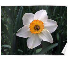 Orange & White Daffodil Poster